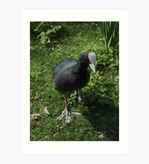 silly  coot! Art Print