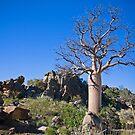 Kimberley Boab Tree by Richard  Windeyer
