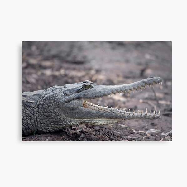 Johnstone River Crocodile Metal Print