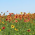 Indian Blanket Wildflowers in a Texas field. by ChelsiGraphics