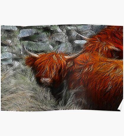 Highland Bulls Poster