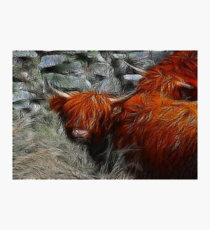 Highland Bulls Photographic Print