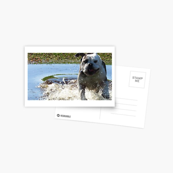 Excited Bulldog in the Water Postcard