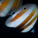 Pair of butterfly fish  by Stephen Colquitt