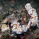 Nudibranch pair - Lembeh Straits by Stephen Colquitt