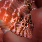 Hawk fish - Lembeh Straits by Stephen Colquitt