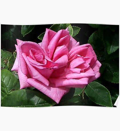 Pink Rose #1 Poster