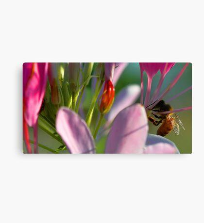 Cleome - Honeybee Canvas Print
