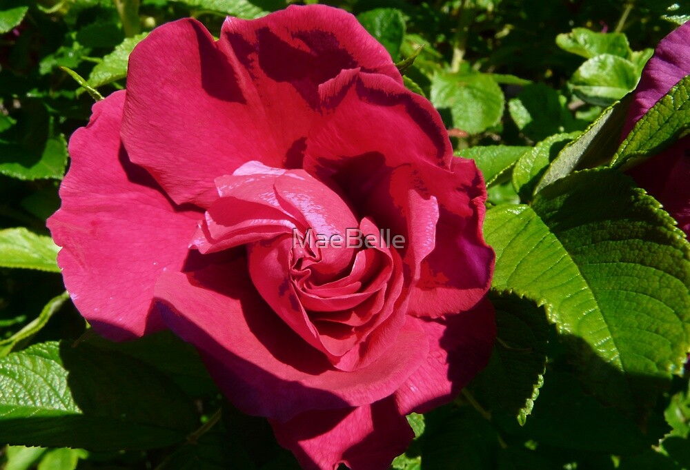 Blushing Red Rose by MaeBelle