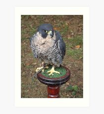 Falco peregrinus Art Print