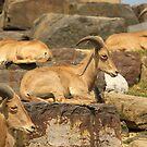 Deer by vasu
