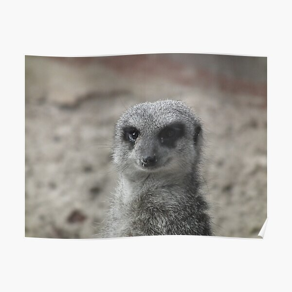 Meerkat 01 Poster