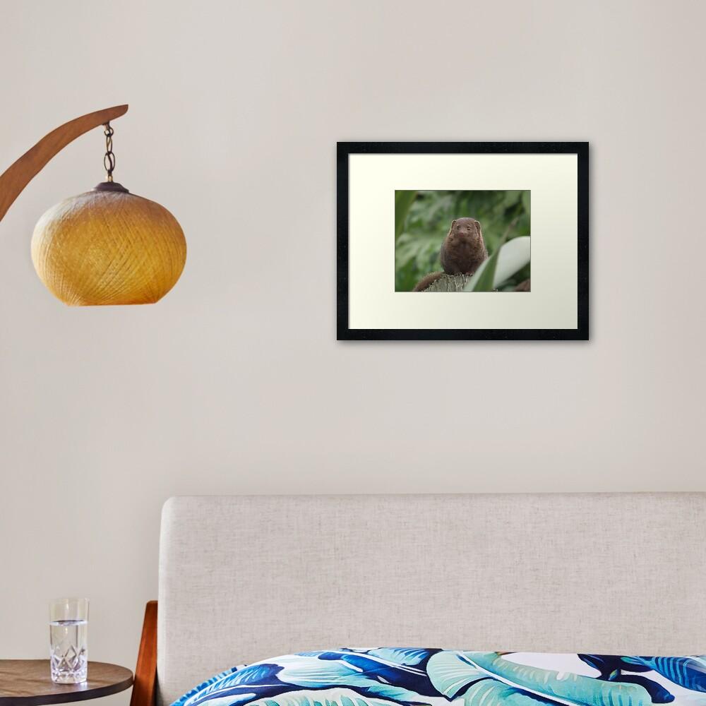 Dwarf Mongoose Framed Art Print