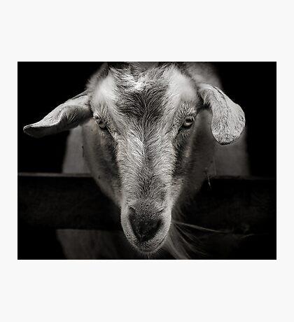 goat Photographic Print