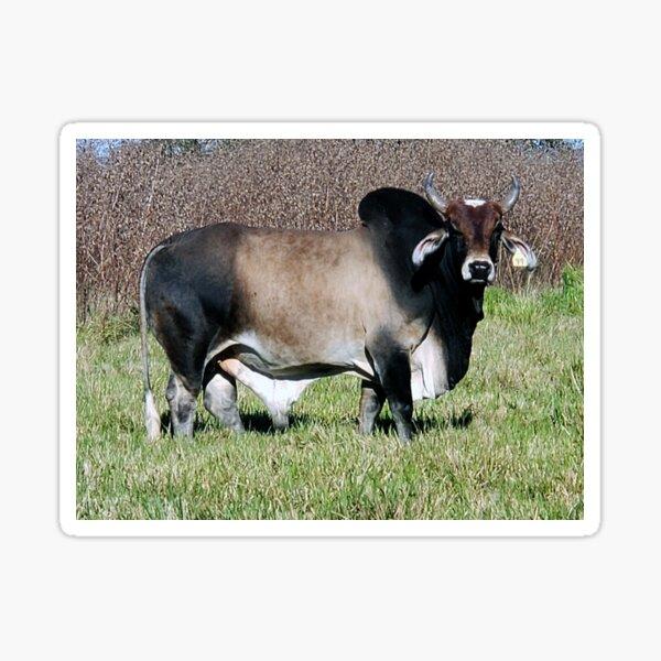 Staring Brahman Bull Sticker