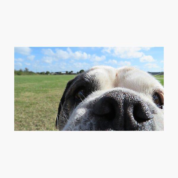 Bulldog nose Photographic Print