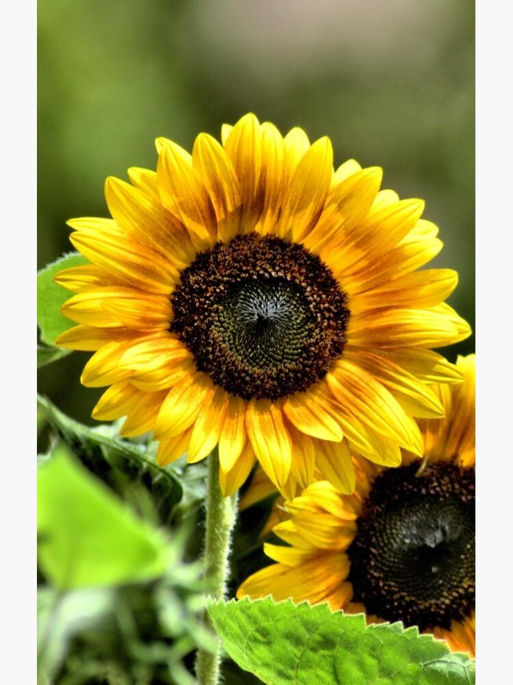 Sunflowers by BTWGF