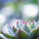 Echeveria Chihuahuensis by Gabrielle  Lees