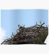New Spring Osprey Chick Poster