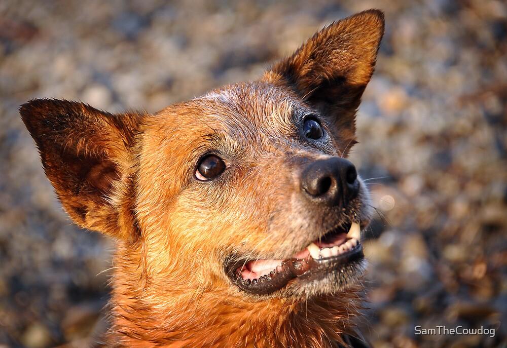 Eyes of a Cattledog by SamTheCowdog
