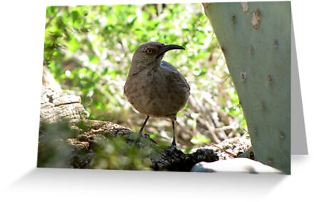 Curved-bill Thrasher by Kimberly Chadwick