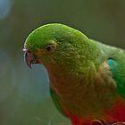 Australian King Parrot by Tom Newman