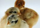 Chicky Trio by Leanne Robson