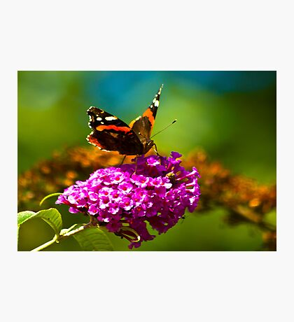 Butterfly & Lilac #3 Photographic Print