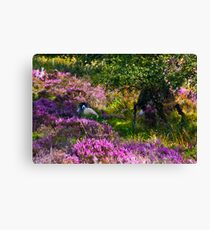 Resting amongst the Heather Canvas Print