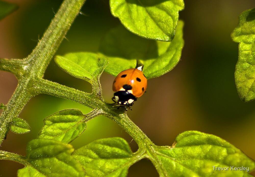 Six Spot Ladybird by Trevor Kersley