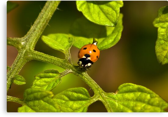 Six Spot Ladybird by Trevor Kersley