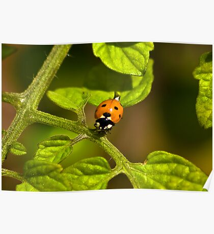 Six Spot Ladybird Poster