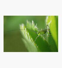Grasshopper nymph Photographic Print
