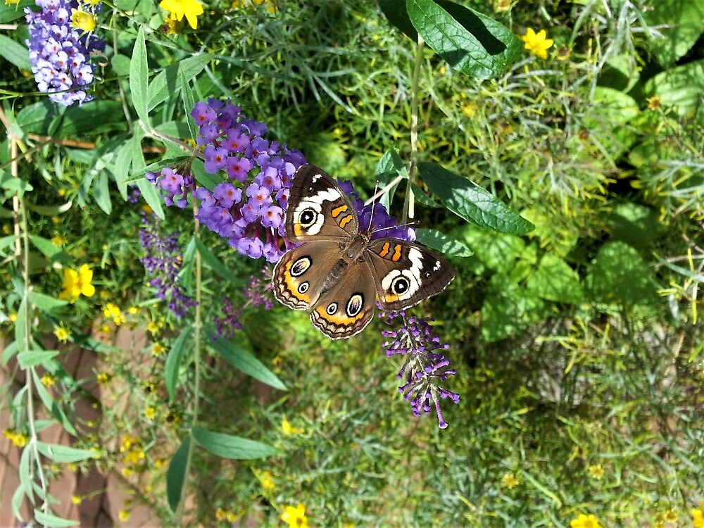 Common Buckeye on Butterfly Bush  by tomeoftrovius