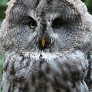 Great Grey Owl by purpleminx