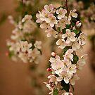 White Tree Bloom - Pink and White Crabapple Flower by ameliakayphotog