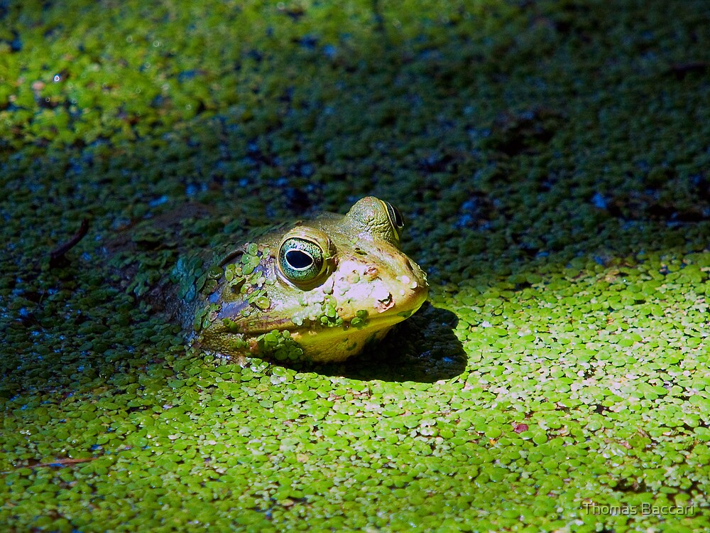 BULL FROG IN THE SWAMP by TJ Baccari Photography