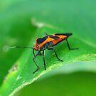 Milkweed Beetle by Nancy Barrett
