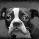Boston Terrier by Susanne Correa