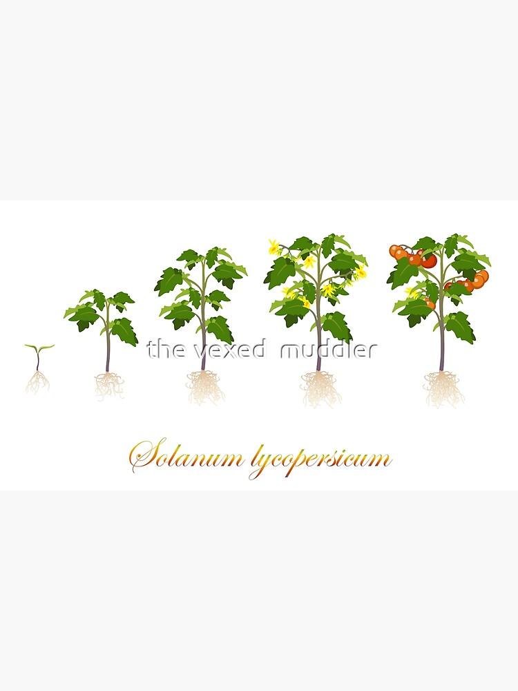 Solanum lycopersicum development  by thevexedmuddler
