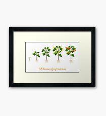 Solanum lycopersicum development  Framed Print