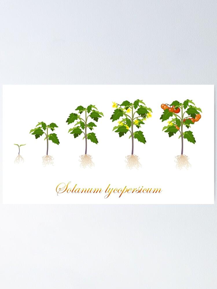Alternate view of Solanum lycopersicum development  Poster