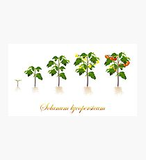 Solanum lycopersicum development  Photographic Print