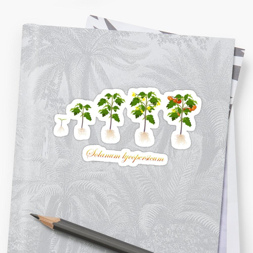 Solanum lycopersicum development  Sticker
