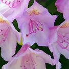 Rhododendron Love by hurmerinta