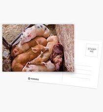 Animal - Pig - Five little piggies and a Chicken  Postcards
