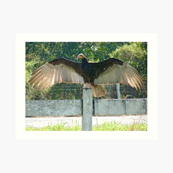 Vulture wingspan Art Print
