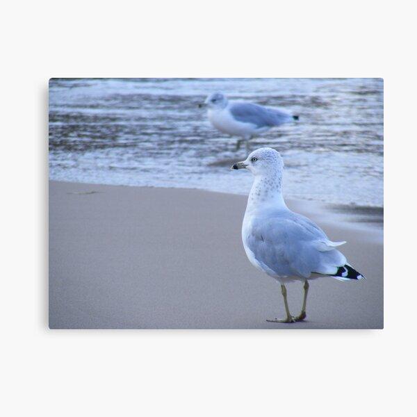 Ring-billed gulls Canvas Print