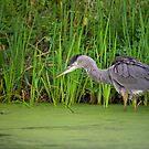 Big Bird by Daniel  Parent