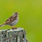 Savannah Sparrow by Nancy Barrett